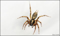 wolf spider(0.0), arthropod(1.0), animal(1.0), spider(1.0), araneus(1.0), invertebrate(1.0), macro photography(1.0), european garden spider(1.0), fauna(1.0), close-up(1.0), tarantula(1.0),