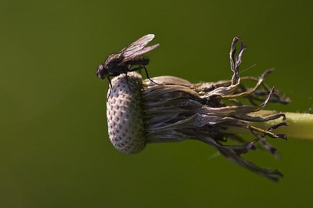 mouche du chou delia radicum cabbage fly flickr photo sharing. Black Bedroom Furniture Sets. Home Design Ideas