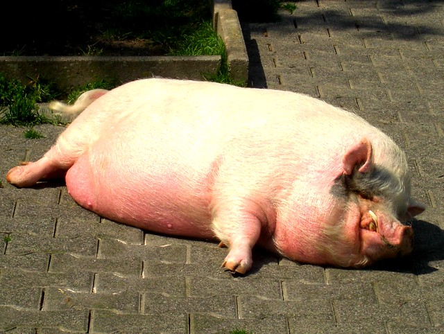 fat pig :D | Flickr - Photo Sharing! Fattest Animal In The World