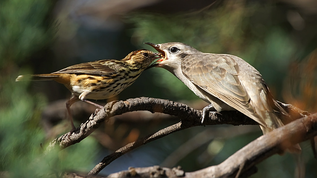 speckled warbler and black eared cuckoo flickr photo