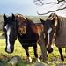 Horses of Llanfairfechan.