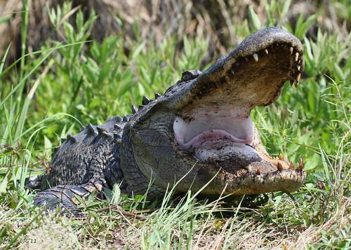 gator alligator southcarolina research yawkey gatorresearch alligatorresearch yawkeyreserve