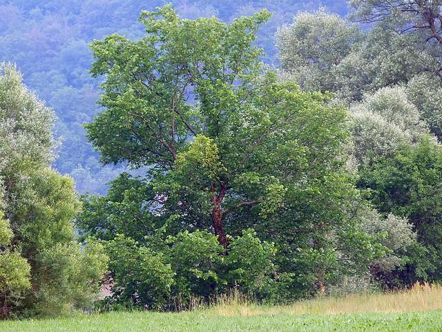J1: Ulmus laevis, Olmo cigliato-Olmo bianco; ciliate Elm