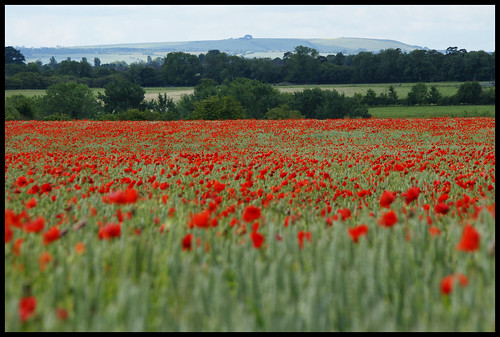 liddington hill with poppies two june 2011