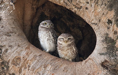 Resident owlets at the Kanha National park, MP, India