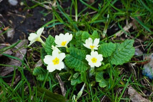 Primrose flowering