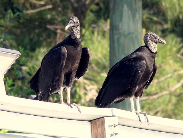 Black Vultures 20110411