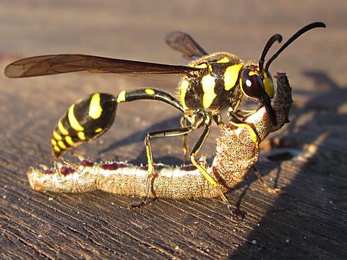 Potter Wasp (Delta campaniforme) _0396