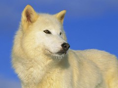 dog breed, animal, west siberian laika, dog, hokkaido, eurasier, japanese spitz, pet, norwegian buhund, german spitz, white shepherd, greenland dog, finnish spitz, kishu, korean jindo dog, wolfdog, saarloos wolfdog, carnivoran, samoyed,
