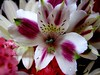 Lily * Happy Resurection Sunday