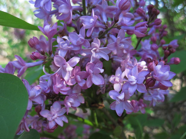 Some of the lilacs have put out their first blossoms including this Syringa x hyacinthflora 'Lamartine'. Photo by Rebecca Bullene.