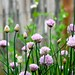 chives sure make pretty flowers! by eren {sea+prairie}