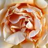 Lush Rosy Goodness