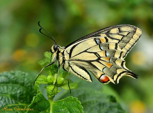 Borboleta-cauda-de-andorinha | Old World Swallowtail, Papilio machaon