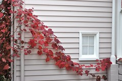 Virginia Creeper on the old farmhouse (Heide 1) at Heide Museum of Modern Art