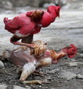 Mutated chicken | Flickr - Photo - 85.7KB