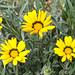 HDR - Osteospermum Fruticosum by Moisés Pinto · Photography