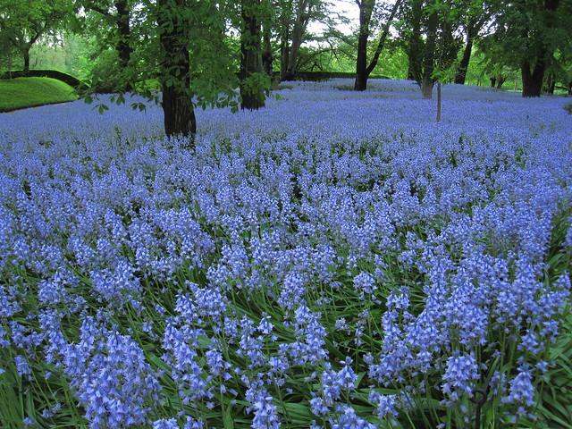 Bluebell Wood in bloom. Photo by Rebecca Bullene.