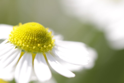 Macro of german chamomile