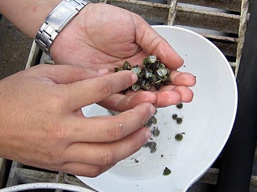 復育的馬蹄鐘螺種苗可抑制影響珊瑚生長的藻類,幫助棲地的恢復;圖片來源:東沙海洋國家公園管理處