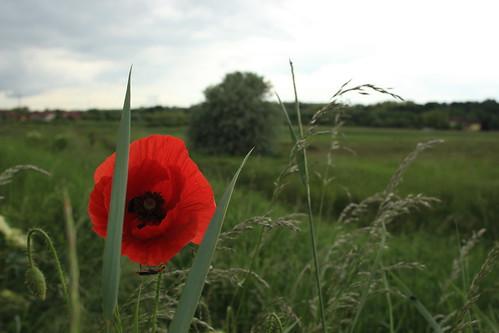 poppy pipacs hévízgyörk