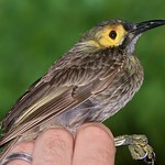 Mon, 12/13/2010 - 6:13pm - Kadavu Honeyeater (Xanthotis provocator) is endemic to Kadavu Island, Fiji, and is the only member of its genus found in Fiji.