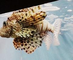 Lionfish II