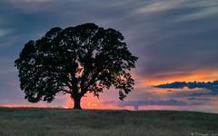 The Favorite Oak