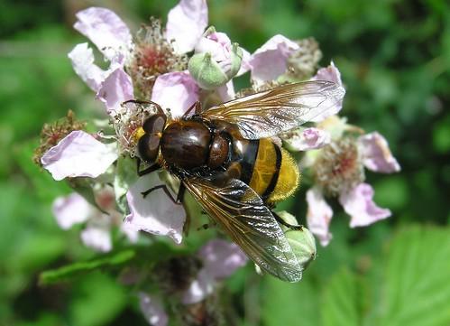 Volucella zonaria - Hornet mimic hoverfly - Volucelle zonée - 08/06/11