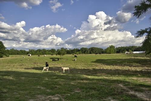 summer green field clouds cow pasture hdr esmithiii esmithiii2003