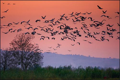 life nature birds animals sunrise israel hulavalley