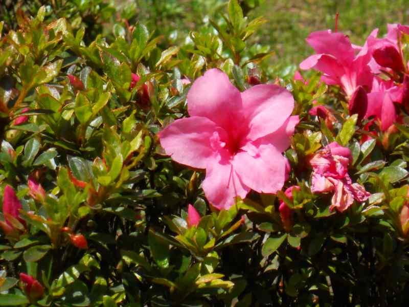 Rhododendron japonicum 'Favorite' 1