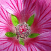 Cape Mallow and Focus Stacking