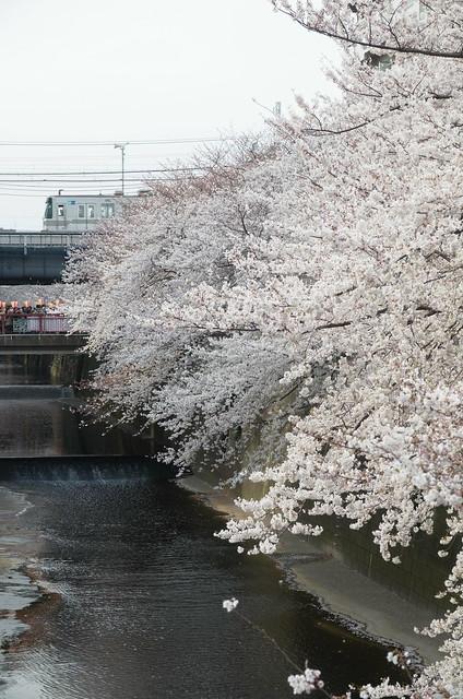 Megurogawa Sakura 04