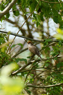 Female Black cap