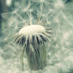 [フリー画像素材] 花・植物, タンポポ, 種子 ID:201205140600