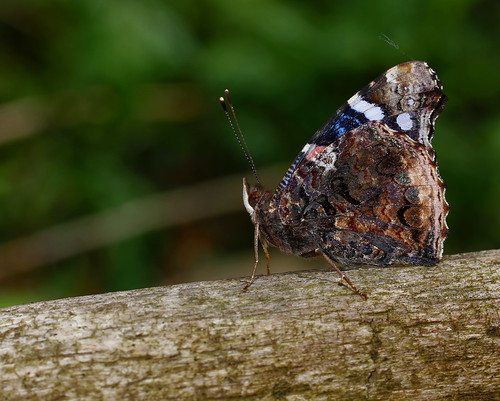 Red Admiral on a Log