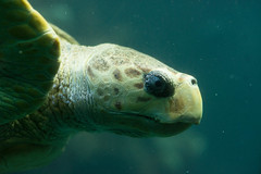 Myrtle the sea turtle
