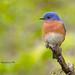 Western Bluebird by Eddy Matuod