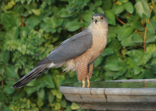 Hawk at the Birdbath