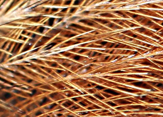 Finesse du plumage d'un pinson des arbres