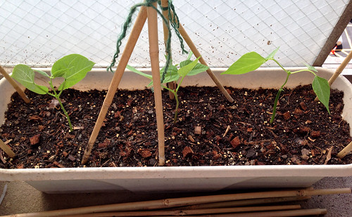 Rocquencourt bean plants