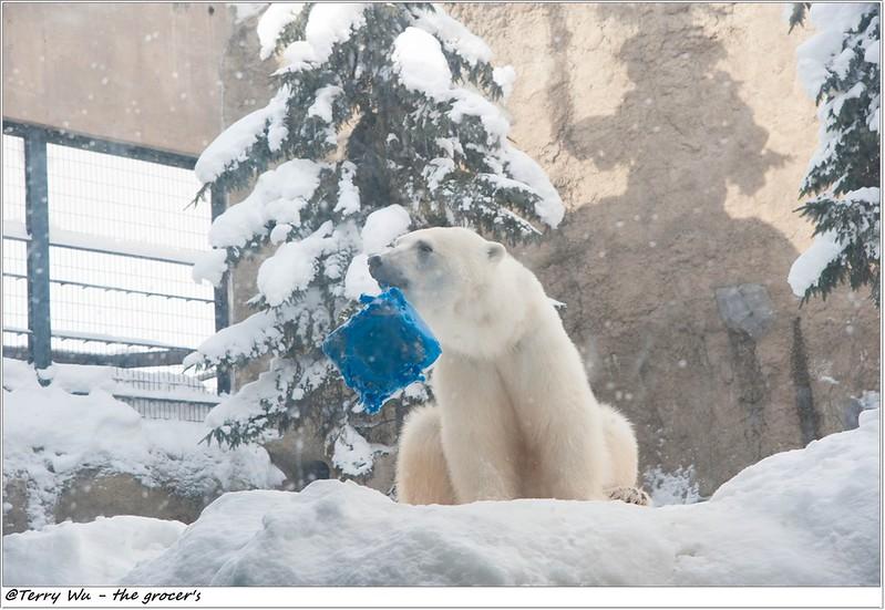 Day5 - 旭山動物園 - 企鵝散步-45