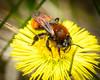 Andrena fulva (f)