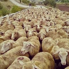 Allineate e coperte #pecore #ovini #navelli #civitaretenga #abruzzo #laquila #italy