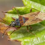 nyakas bodobács - Pachybrachius fracticollis