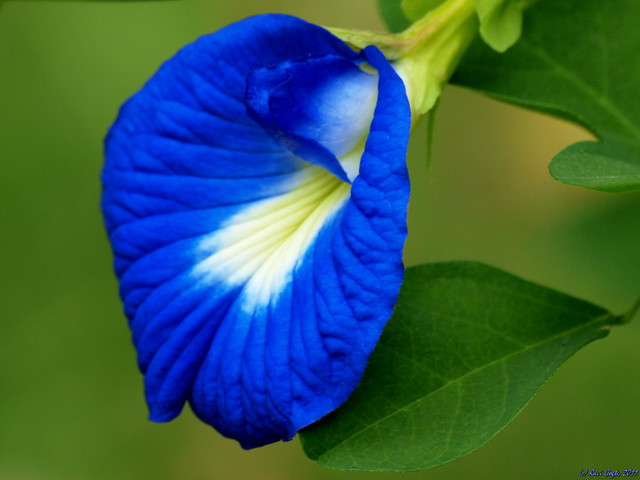 Rich Blue Flower With Glow In Core Flickr