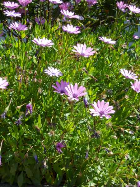 Osteospermum ecklonis v 3