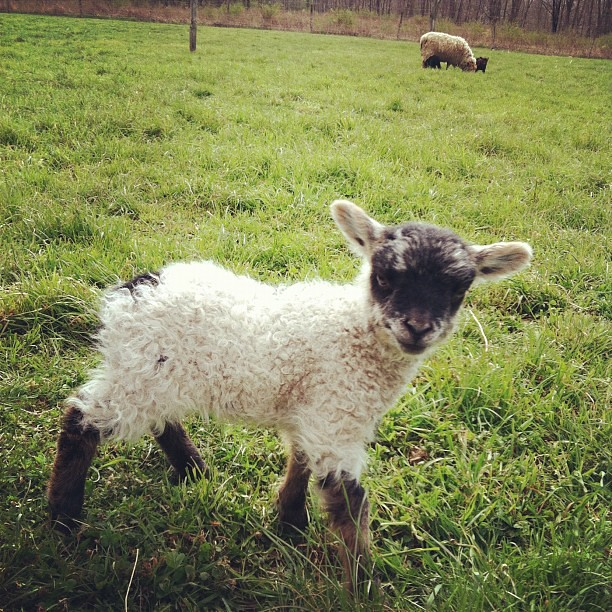 Hello little lamb!