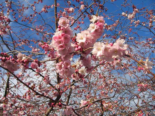 Cherry blossoms, Kungsträdgarden, Stockholm 2012 - #5